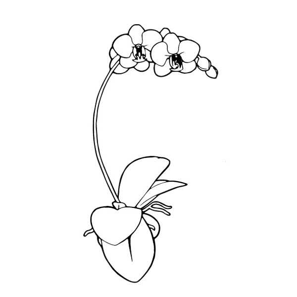Create-Your-Own Phalaenopsis Orchid